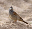 Striolated Bunting (2nd record, Wafra Oilfield, 16 Nov 2013)