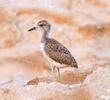 White-tailed Lapwing (Fledgling)
