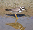 Common Ringed Plover (Juvenile)