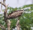 Western Osprey (Immature)