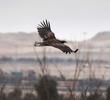 White-tailed Eagle (Immature)