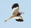 White-tailed Lapwing