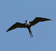 Lesser Frigatebird (Female, SOUTH AFRICA)