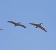 Dalmatian Pelicans (GREECE)