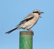 Mauryan Grey Shrike (Winter)