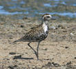 Pacific Golden Plover (OMAN)