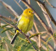 Arabian Golden Sparrow (Male)